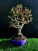 Perfect bonsai-portulacaria AFRA - 18 year old for professionals - $16.27