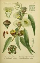 Eucalyptus_globulus_thumb200