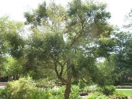 Australian_tea_tree_1