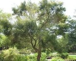 Australian_tea_tree_1_thumb155_crop