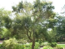 Australian Tea Tree Essential Oil 1 oz - $6.25