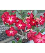 """Rare & Exotic ~RED~ Adenium Obesum Desert Rose Live Plant 4"""" pot Natural Bonsai - $6.95"""