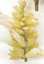 25 Seeds of Salvia Splendens Sizzler White - $16.83