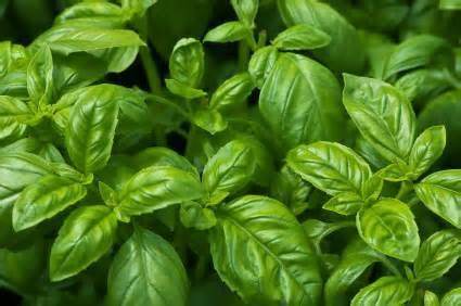 BASIL, FRENCH ESSENTIAL OIL 1/2 oz