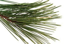 PINE NEEDLE ESSENTIAL OIL 1/2 oz - $3.75
