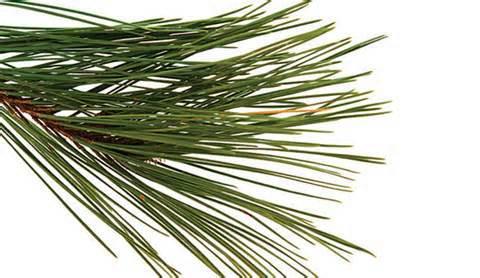 Pine needle 2