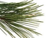 Pine needle 2 thumb155 crop