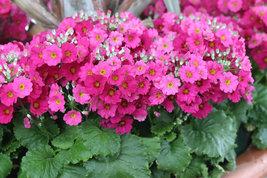 Best Price 10 Seeds Pink-Yellow Primula Big Flower,Diy Flower Seeds TS345T Dg - $5.48