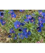 100 Blue Pimpernel Seeds - $6.93