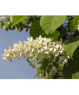 Bird-cherry-prunus-padus_1_640x512_thumbtall