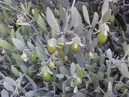 JOJOBA CLEAR & DEODORIZED 2 oz - $5.00