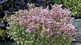 10 Pcs Seeds - Arizona Sunset Hummingbird Mint - Agastache - Perennial HH01 - $11.99