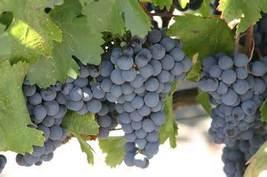 Grapes thumb200