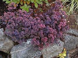 5 Sedum Vera Jameson - Ground Cover - Live Plant - Stonecrop - Succulent - $37.32