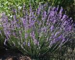 Lavender thumb155 crop