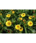 HELICHRYSUM FLORAL WATER  2 oz - $9.00