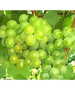 3 Cuttings of Seedless Summer Muscat Grape Vine, Delicious Grapes,  Zone... - $9.78