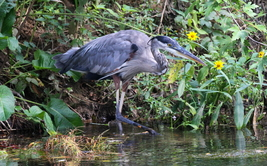 Great Blue Heron 13 x 19 Unmatted Photograph - $35.00