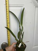 C. Hawaiian Wedding Song 'Virgin' CATTLEYA Orchid Plant Pot BLOOMING SIZE :: 22b image 3