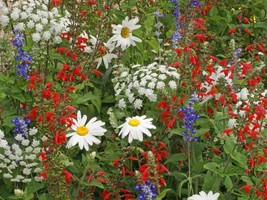 SHIP From US, 20K Seeds Mix Red White & Blue Wildflower, DIY Decorative ... - $41.67