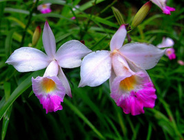 2 Rooted Bulbs - Hawaiian Tropical Bamboo Orchid Plant - $24.89