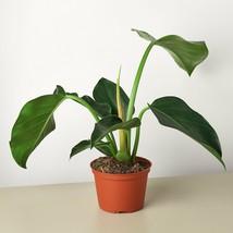 """Philodendron Congo Green - 6"""" Pot - Houseplant - Garden - Outdoor Living - D11 - $57.99"""
