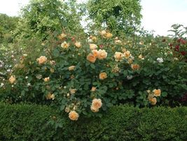 3 Cuttings of Golden Celebration Ausgold Rose Ready To Root Make Your Ow... - $3.00