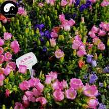Buy Spotted Bellflower Flower Seeds 400pcs Plant Campanula Punctata Flower - $15.99