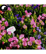 Utiful sweet flower herb campanula punctata for family flower garden feng ling cao  4  thumbtall