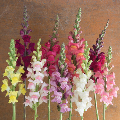 Primary image for Potomac Custom Mix Seed,Costa Silver Snapdragon Flower Seeds