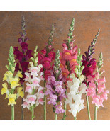 Potomac Custom Mix Seed,Costa Silver Snapdragon Flower Seeds - $21.00