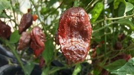 1 Packet Of Chocolate Naga Brain Chile Seeds Capsicum Chinense - $23.74