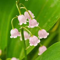 50 seeds - Colorful Bell Orchid Lily of The Valley Perennia Flower Seeds #DG1 - $16.99