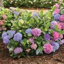 Full Gallon Pot Endless Summer Mophead Hydrangea Live Plant - $79.99