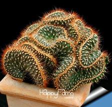 10pcs Perennial Mini Cactus Cylindropuntia fulgida forma cristata Rare P... - $12.95