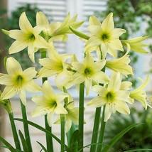 Amaryllis Bulbs, Barbados Lily, Root Hippeastrum Bulb, Light Green Amaryllis  - $15.99+
