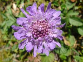 10 Seeds Scabiosa lucida - $8.00