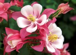 50 Pink White Columbine Flower Perennial Seeds #STL17 - $15.17