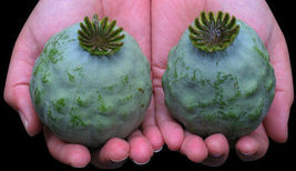 The Giant Poppy - Papaver setigerum - 50+ seeds - HUGE and BEAUTIFUL! - $10.00