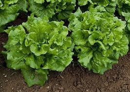 Way-A-Head Lettuce Seeds - 100 Count Seed Pack - Non-GMO - Produce Compact Butte - $2.99