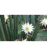 10 Cuttings Night Blooming Cereus Cactus - $16.49