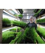"Organic Wheat Grass 200 Seeds"" Safe for Animal,Human, No Chemical  - $12.00"