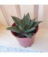 Gasteraloe Succulent, Live 'Gasteraloe Flow' Houseplant, Gasteria Aloe 3... - $11.99