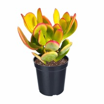 Plant Crassula Ovata Hummel Sunset Golden Jade Succulent Cuttings 3PCS  - $18.99