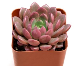 1 Live Plant - Succulent Sedeveria Pink Ruby Potted #TNGD8 - $33.99+