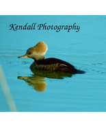 "Hooded Merganser Duck  Photo #1  8X10"" glossy print birds - $7.00"
