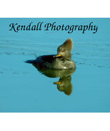 "Hooded Merganser Duck  Photo #2  8X10"" glossy print birds - $7.00"