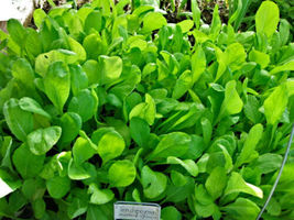 SHIPPED FROM US 330 Mustard Spinach Tendergreen Salad Vegetable Seeds, GS04 - $13.00