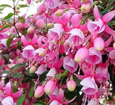 100pcs Very Admirable Fuchsia Flower Begonia Seeds  IMA1 - $14.99