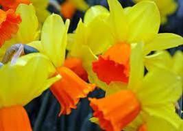 Daffodil Fields - Home Fragrance Oil - Warmer /... - $6.00